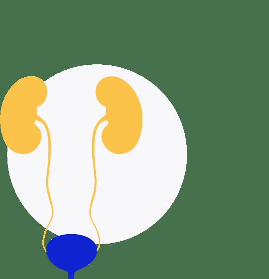 Vezica urinara | Anatomie si fiziologie